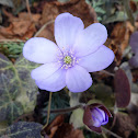 Common hepatica