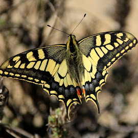 Butterfly by Gil Reis - Animals Other ( places, butterfly, portugal, bio, life )
