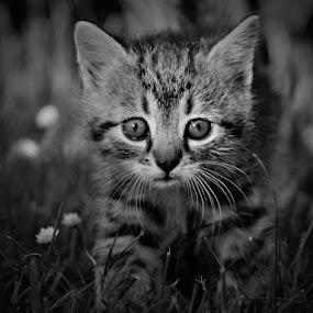 *** by Katka Kozáková - Black & White Animals ( kitten, cat,  )