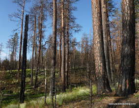 Photo: Gully through a stand of mature ponderosa pine, a favorite local spot for Black-backed Woodpecker. Black Butte Burn.