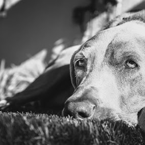 Jack by Jordan  Richardson - Animals - Dogs Portraits ( love, weimaraner, sweet, jack, calfornia, pet, la, los angeles, sleepy, baby, dog )