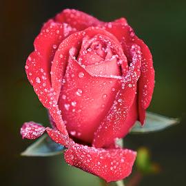 0 Rose 9609~ 1 by Raphael RaCcoon - Flowers Single Flower