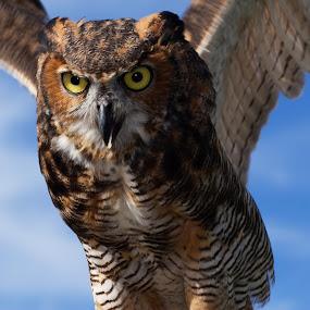 Owl taking off by Chris Seaton - Animals Birds ( flying, bird of prey, wings, owl, raptor, feathers, birds,  )