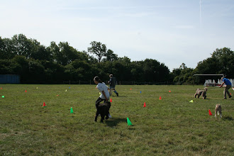 Photo: DogBasics Fun Day 2013 - Spoon Race Slalom and Tamsin is struggling when Tilly Labradoodle walks around her...