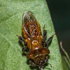 Bee-mimic Reduviid