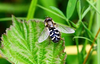 Photo: Scaeva  cf pyrastri  ???  Diptera  > Syrphidae