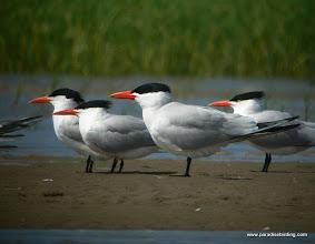 Photo: Caspian and Royal terns, Bolivar Flats Shorebird Sanctuary, upper Texas Coast