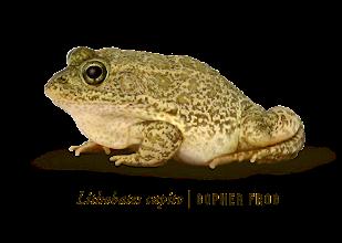 Photo: Lithobates capito | Gopher frog