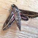 Vine Hawk-moth or Silver-striped Hawk-moth