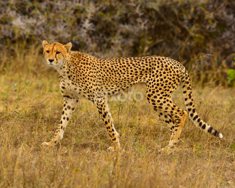 cheetah in wild by Sheri Lim - Animals Lions, Tigers & Big Cats ( cheetah, spotted, hunting, prowl, africa )