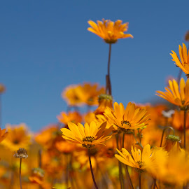 Namaqualand Daisies by Issi Potgieter - Flowers Flowers in the Wild ( namakwaland daisies, fields of flowers, wild flowers, namakwaland,  )