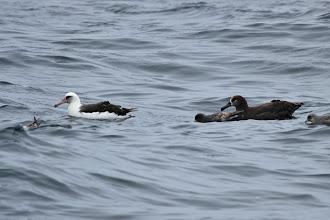 Photo: Albatrosses