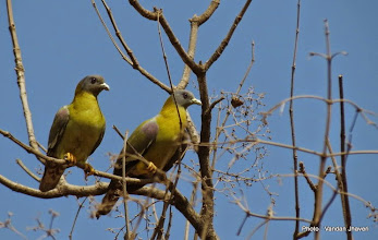Photo: Yellow-footed Green Pigeon