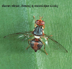 Photo: Bactrocera oleae female, ex Olea europea ssp africana, Ololua Forest, central highlands, Kenya© Robert Copeland