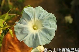 Photo: 拍攝地點: 春陽-可愛植物區 拍攝植物: 日本朝顏 水月 拍攝日期:2013_07_02_FY