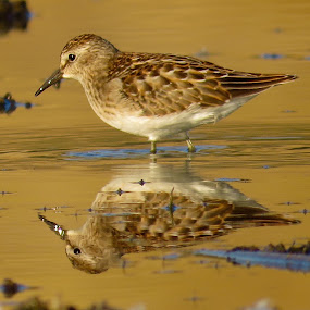 Least Sandpiper  by Nick Swan - Animals Birds ( peep, nature, shorebird, least sandpiper, wildlife )