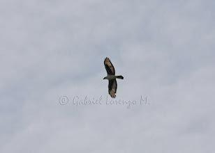 Photo: Águila azor africana (Hieraaetus spilogaster)