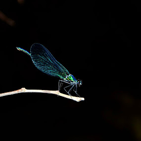 Dragonfly by Nelson Coelho - Animals Insects & Spiders