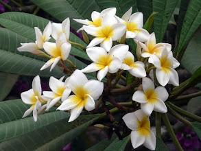 Photo: fleur de frangipanier