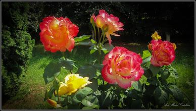 Photo: Trandafiri ( Rosa) - din parcul Bisericii Ortodoxe din Mr.3 - 2017.06.21