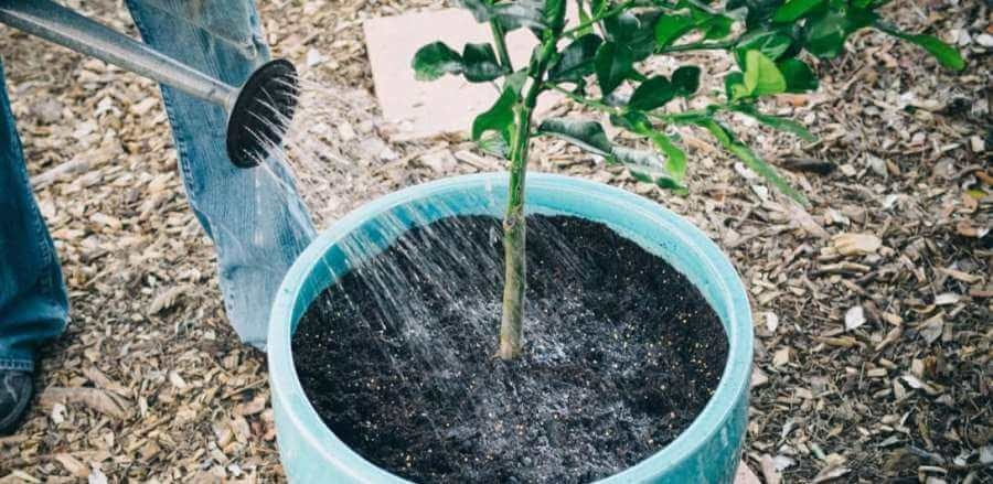 Lime Tree Care Water Consistently