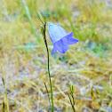 Bluebell Bellflower