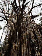 Photo: Curtain Fig Tree