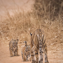 Run to mamma by Sunil Manikkath - Animals Lions, Tigers & Big Cats