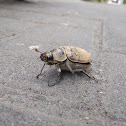 Wood Coloured Beetle