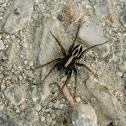 Alopecosa spider