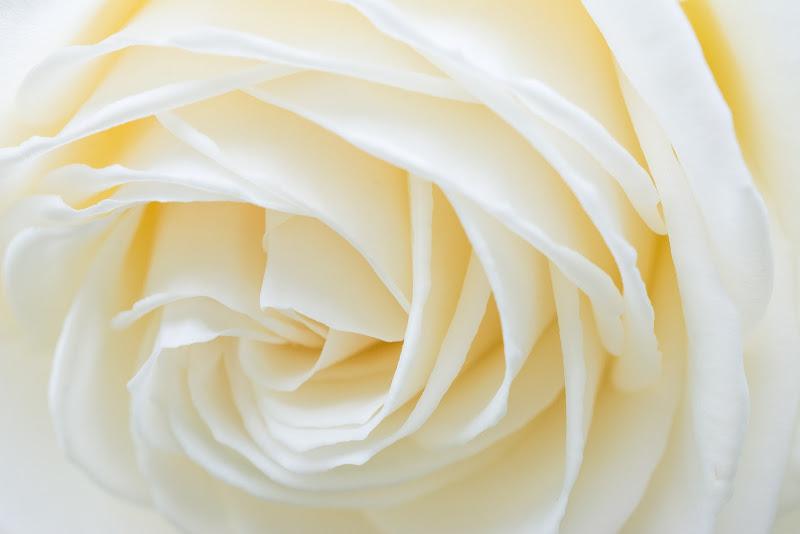 Rosa bianca di LucaMonego