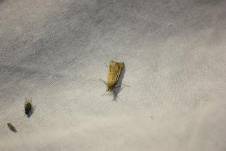 Photo: Synaphe punctalis    Lepidoptera > Pyralidae
