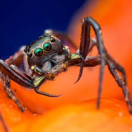 Jumping Spider (Pristobaeus sp.) by Calvin Ang - Animals Insects & Spiders ( jumping, wildlife, insects, insect, singapore, macro, bugs, nature, trail, asia, spider, closeup, animal, wild animal, wild, park, forest, close up, jumper, jump, jungle, bug, garden, natural, entomology,  )