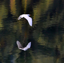 Photo: Egret take off