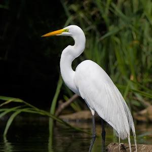 Egret-Standing-Near-the-Shore2-O-61608.jpg