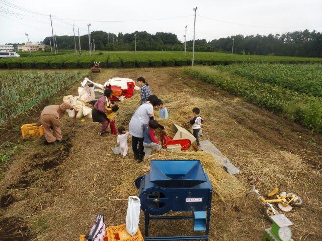 足踏み脱穀機が好きな子が、残った稲を脱穀しています。奥には、脱穀が終わった稲わらの山が。