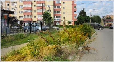 Photo: Știr (Amaranthus retroflexus) de pe Calea Victoriei, intersectie cu Str. Mihai Viteazu - 2017.06.13