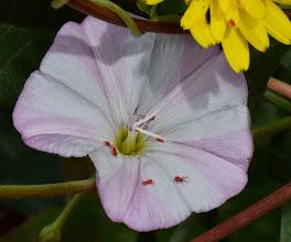 Photo: Calystegia soldanella