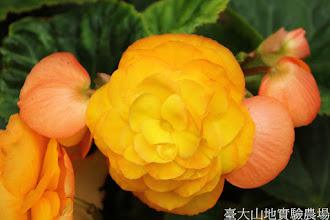 Photo: 拍攝地點: 梅峰-溫帶花卉區 拍攝植物: 球根秋海棠 拍攝日期: 2015_07_29_FY
