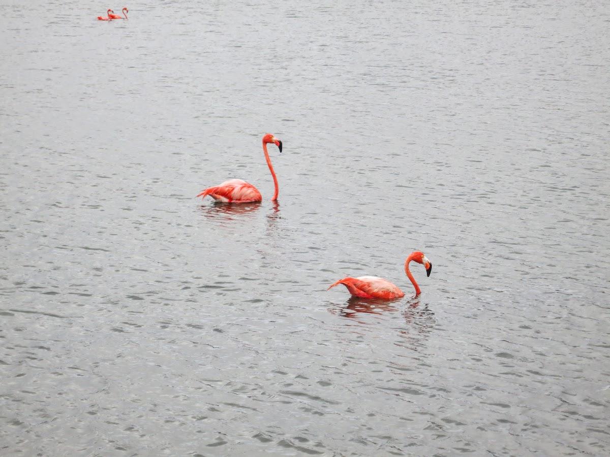 Bonaire. Pekelmeer Flamingo Sanctuary. Pink Flamingos.