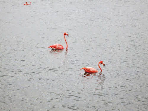Bonaire. Pekelmeer Flamingo Sanctuary. Pink Flamingos.
