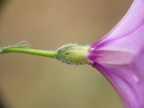 Photo: Convulvulus althaeoides