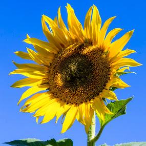 Sun Flower  by Hush Naidoo - Flowers Single Flower ( blue sky, flower nature, sunflower, sun, oil )