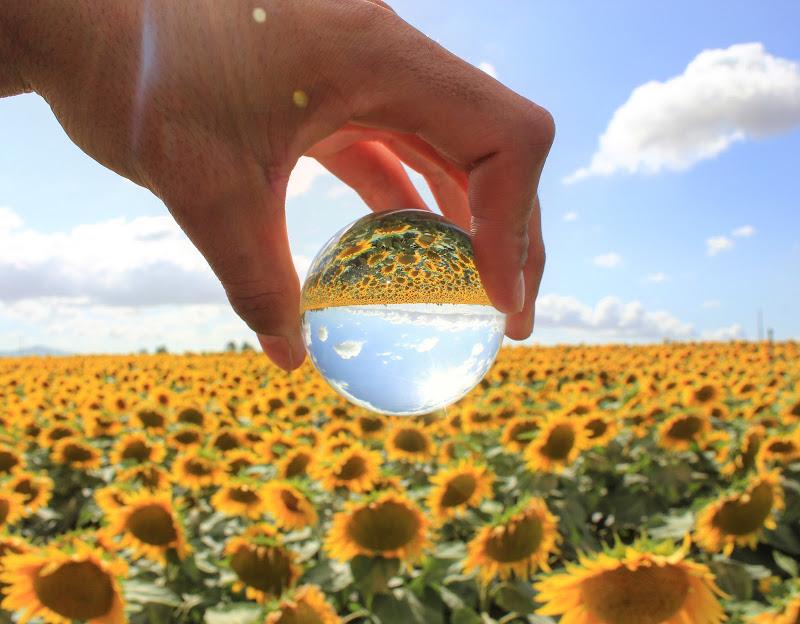 sunflowers di eemanvelephoto