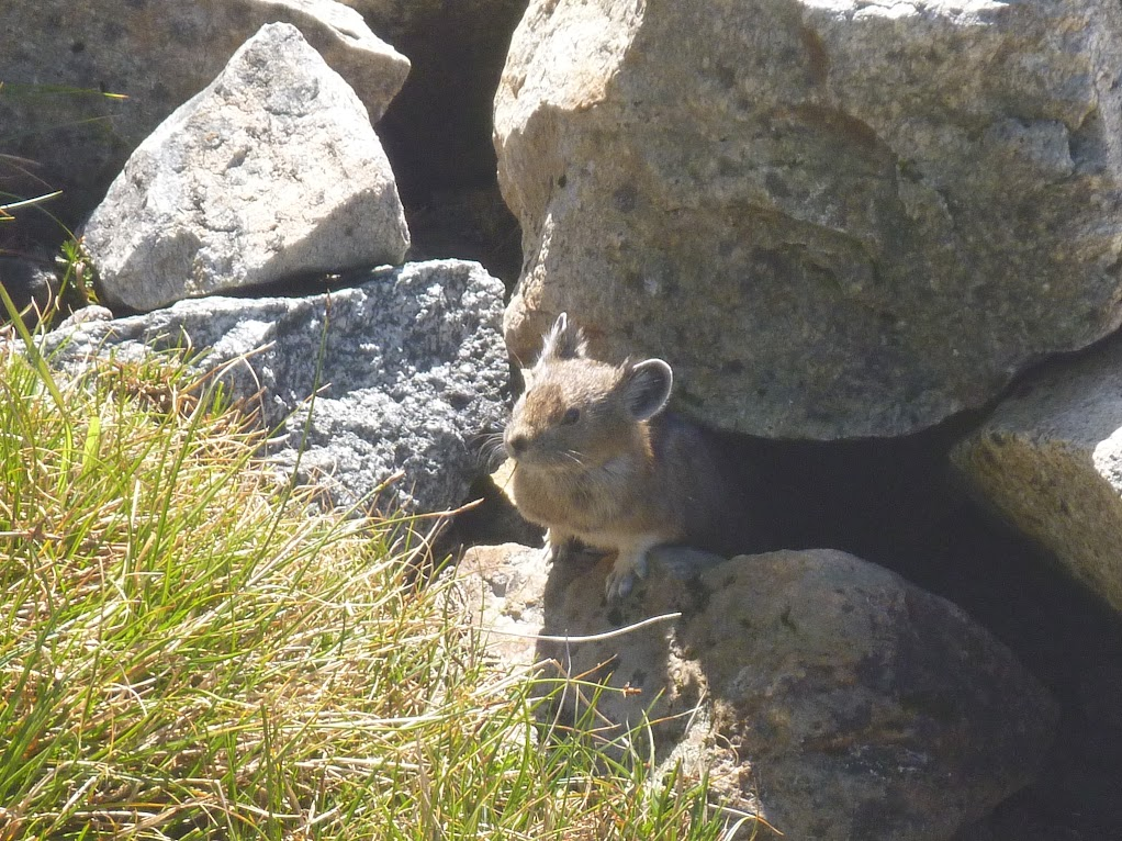 Pika near Cascade Pass