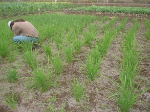 Photo: Telce Gonzalez of the Institute of Rice Investigations examining a SRI plot in Las Villas.