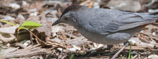 Gray Catbird (Dumetella carolinensis), , Park de la Frayere, Boucherville, 2017/05/27