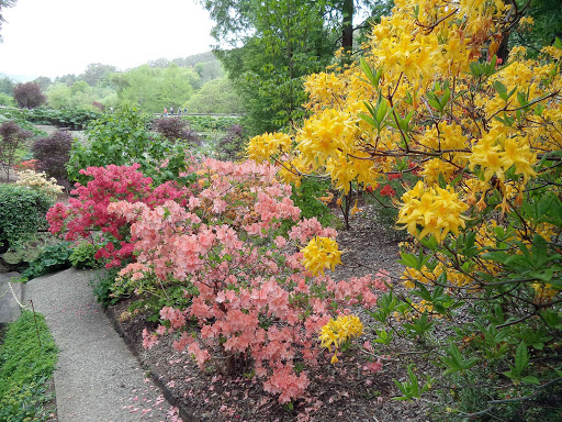 Australia-Adelaide-botanic - Azaleas flowering in spring at Mount Lofty Botanic Gardens in Adelaide, Australia.