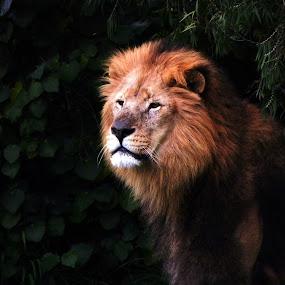 portrait   by Zhenya Philip - Animals Lions, Tigers & Big Cats ( animal, zoo, lion )