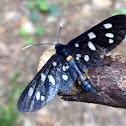 Farfalla prete Fegea